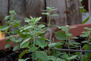 זוטה לבנה צמח