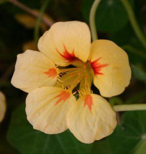 כובע הנזיר גידול פרח