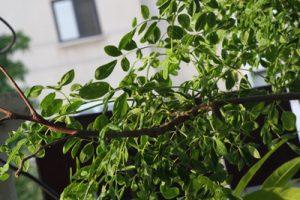 מורינגה עץ גידול