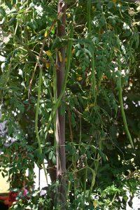 מורינגה עץ גידול תרמילים
