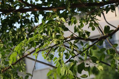 מורינגה צמח