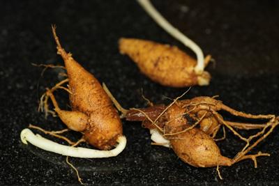 מורינגה צמח גידול שורש