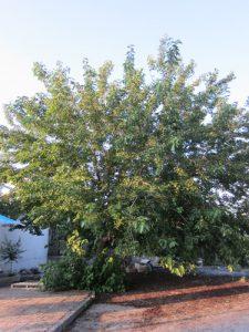 עץ תות גידול