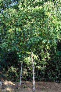 תות עץ גידול צמח