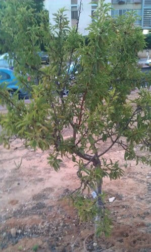 נקטרינה עץ גידול