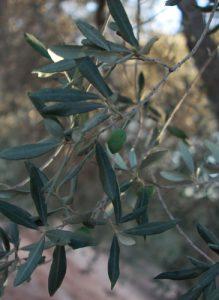 זית עץ גידול עלים