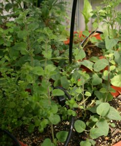אורגנו גידול צמח
