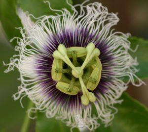 פסיפלורה צמח פרח