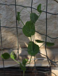 אפונה צמח גידול