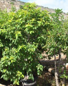 פרי חמאת בוטנים עץ גידול