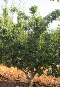 עץ אגס גידול