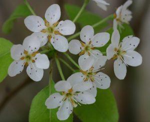 עץ אגס פרחים