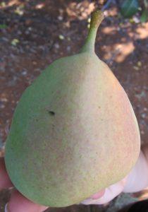 עץ אגס פרי גידול