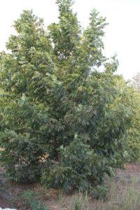 פקאן עץ גידול צמח