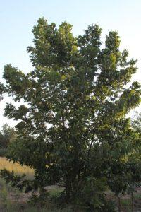 פקאן עץ גידול