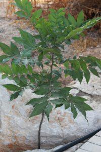פקאן עץ גידול מזרע