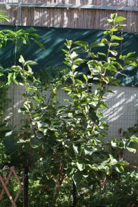 אפרסמון עץ