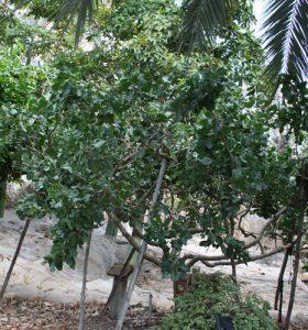עץ פיסטוק