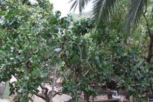 עץ פיסטוק גידול