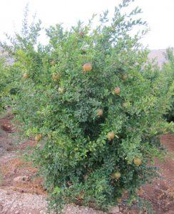 עץ רימון פרי צמח