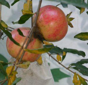 עץ רימון פרי צמח גידול