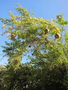 עץ רימון