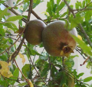 עץ רימון פרי