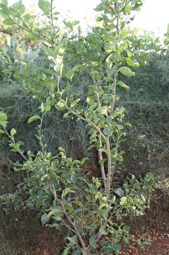 עץ פומלה גידול