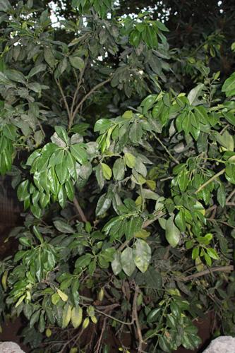 עץ פומלו גידול