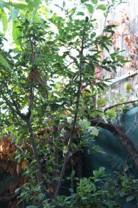 שזיף עץ גידול צמח