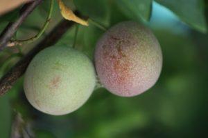 שזיף עץ פירות