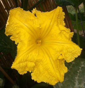 דלעת צמח גידול פרח