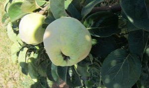 חבוש עץ פרי