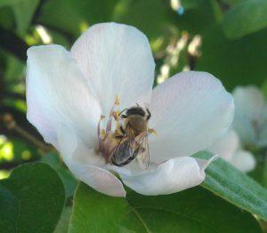 חבוש עץ גידול פרח