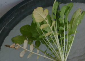 צנון גידול צמח עלים