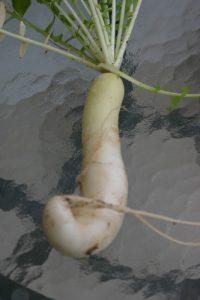 צנון גידול צמח