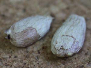 רמבוטן גידול זרעים