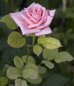 ורוד ורד גידול