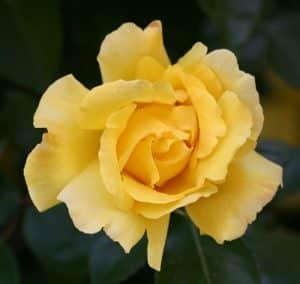 ורד גידול צהוב