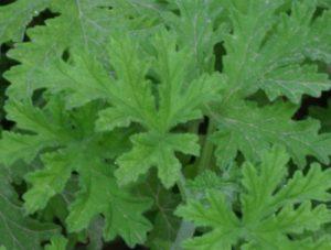 גרניום לימוני גידול צמח