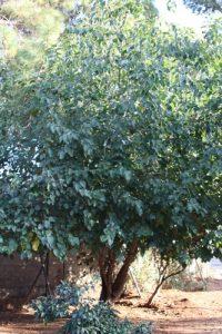 תות עץ רוזה גידול צמח