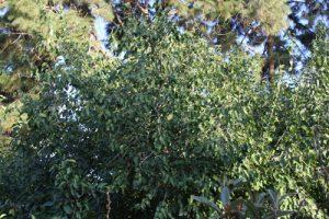 תות עץ רוזה צמח