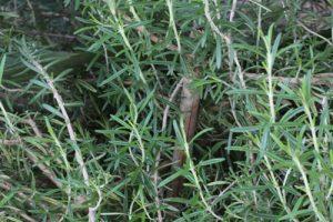 רוזמרין עלים גידול צמח