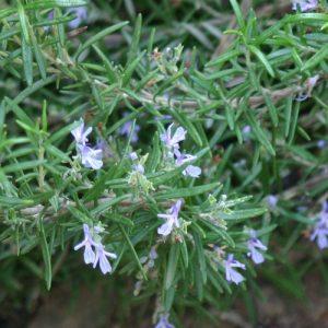 רוזמרין עלים גידול צמח פרחים