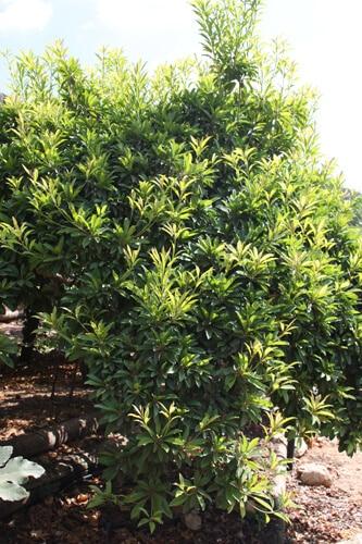 ספודילה עץ גידול