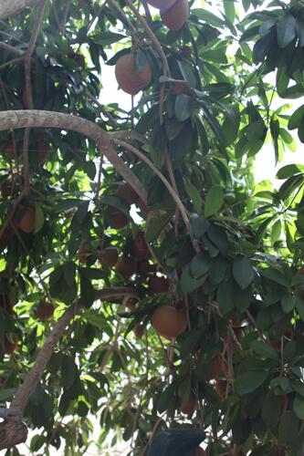 ספודילה עץ גידול פירות
