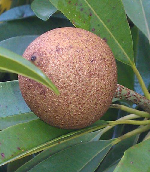 ספודילה עץ גידול פרי