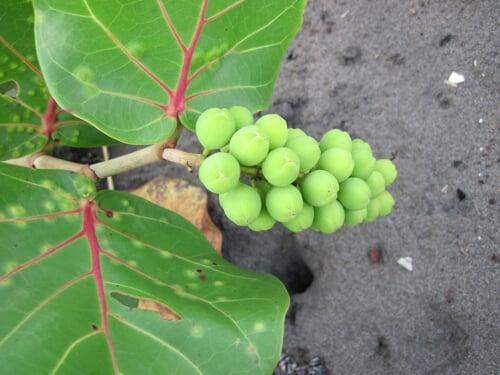 ענבי ים גידול פירות