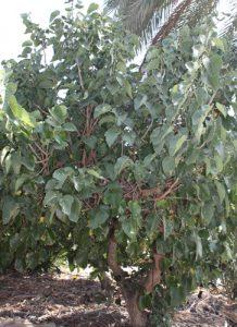 תות עץ שאמי