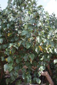 תות עץ שאמי גידול